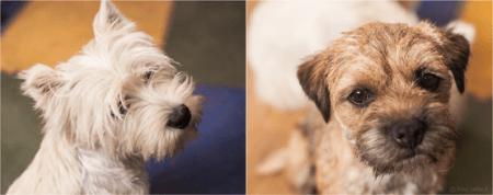 Eleveur de chiens westies et border terrier en Alsace, Haut-Rhin
